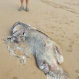 Bangkai Ikan Kerapu Terdampar