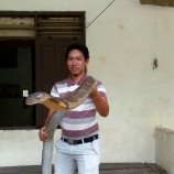 King cobra Terbesar Di Kalimantan