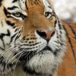 Seorang Buruh Bangunan Di Indragiri Hilir Tewas Di Terkam Harimau